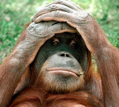 manos a la cabeza orangutan triste