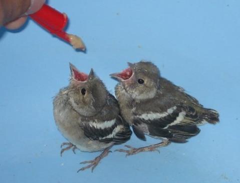 alimentando a los polluelos de jilguero